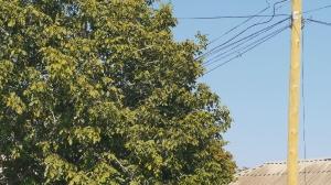 Веерный пучок в плотную крону дерева. Таганрог